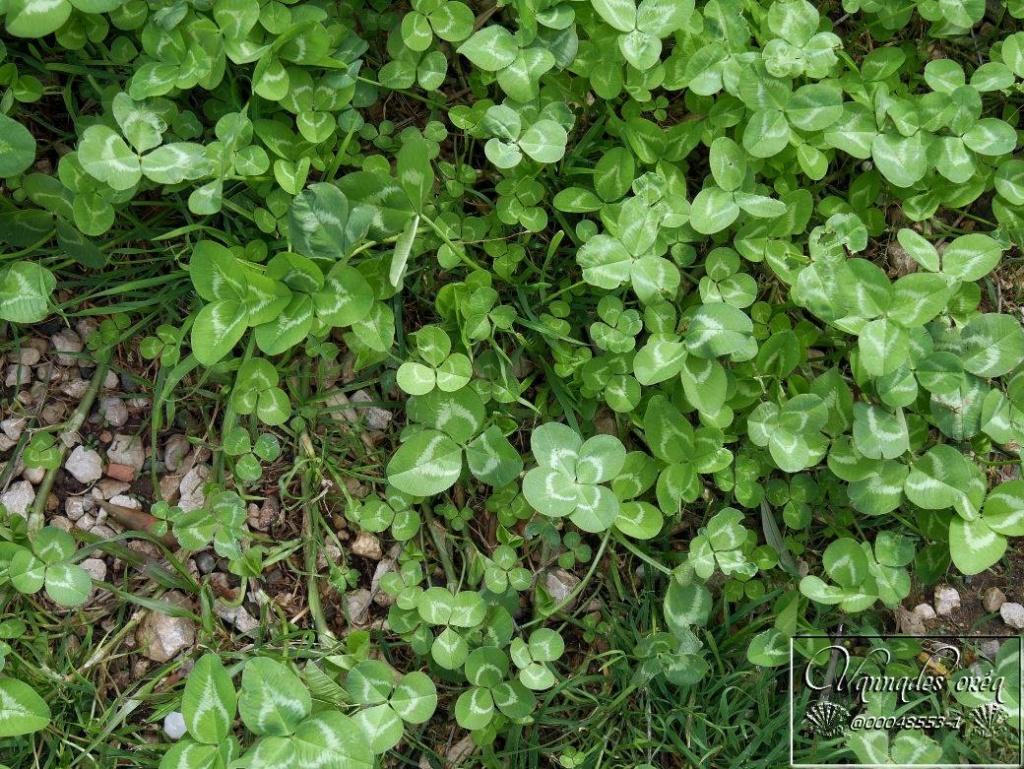 Trifolium repens (trefle blanc) Trefle10