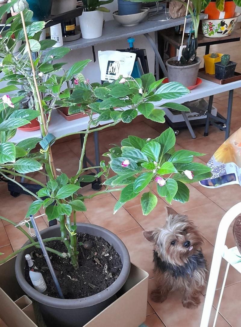 Ma Salle de séjour transformée pour les plantes en Vérandas pff !!! - Page 3 Tuteur10