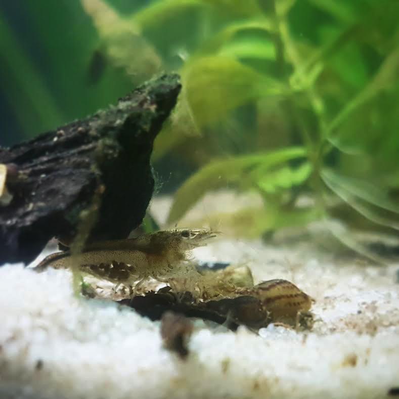 Identification et cohabitation avec crevettes dans 50L Eefcd11