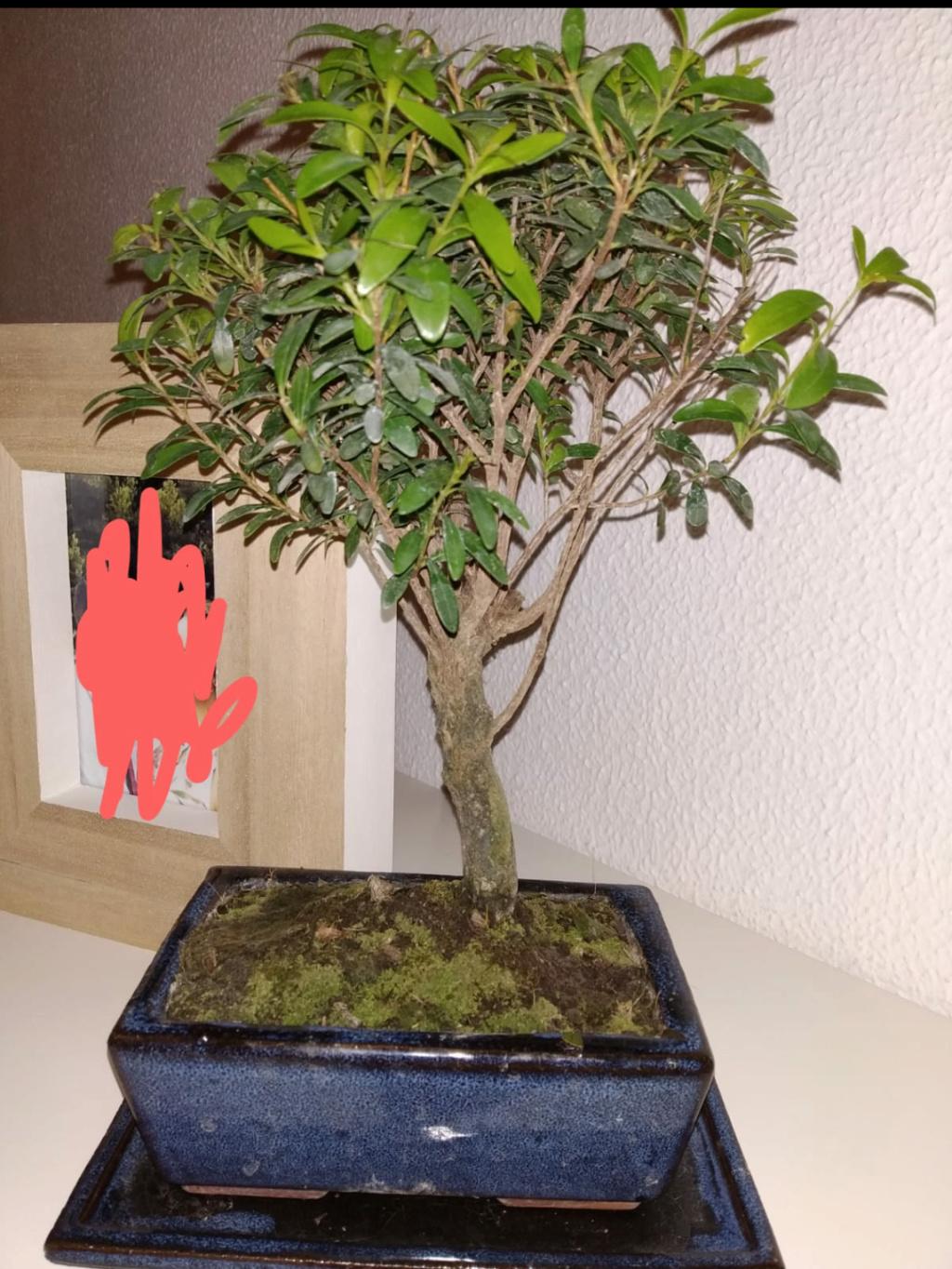 Primer bonsai Zelkova parvifolia Screen10