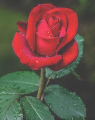 ::Desfile de Rosas AMDA::Hoy se presenta la Rosa Roja AMDA  Screen11