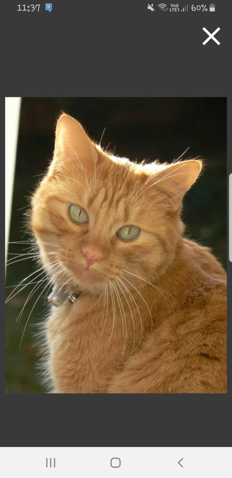 Trouvé chat roux tigré poils mi longs à Pibrac 20190412