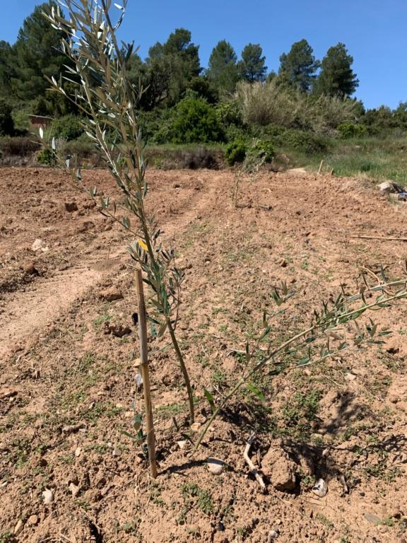 Plantación con doble plantón Olivos13