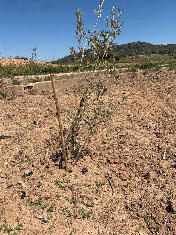 Plantación con doble plantón Olivos14