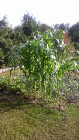 Кукуруза запечённая в духовке 20210718