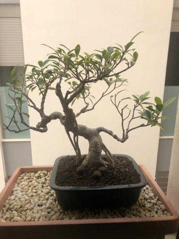 Ficus Retusa poca densidad de hojas. Img_6810
