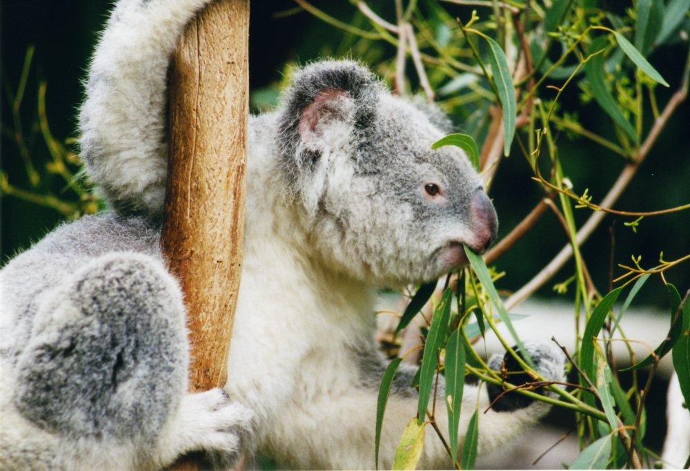 [C.H.U] Rapports d'actions RP de Heart1402 - Page 5 Koala-10