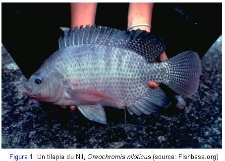 Tilapia du Nil Oreochromis niloticus Nileti14