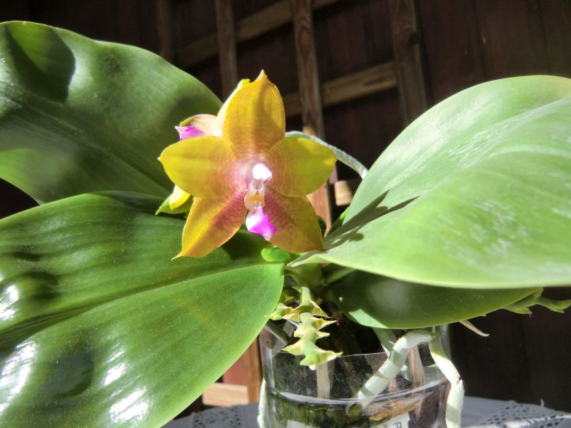 Phalaenopsis venosa x bellina (JIG) - Seite 4 Rscimg22