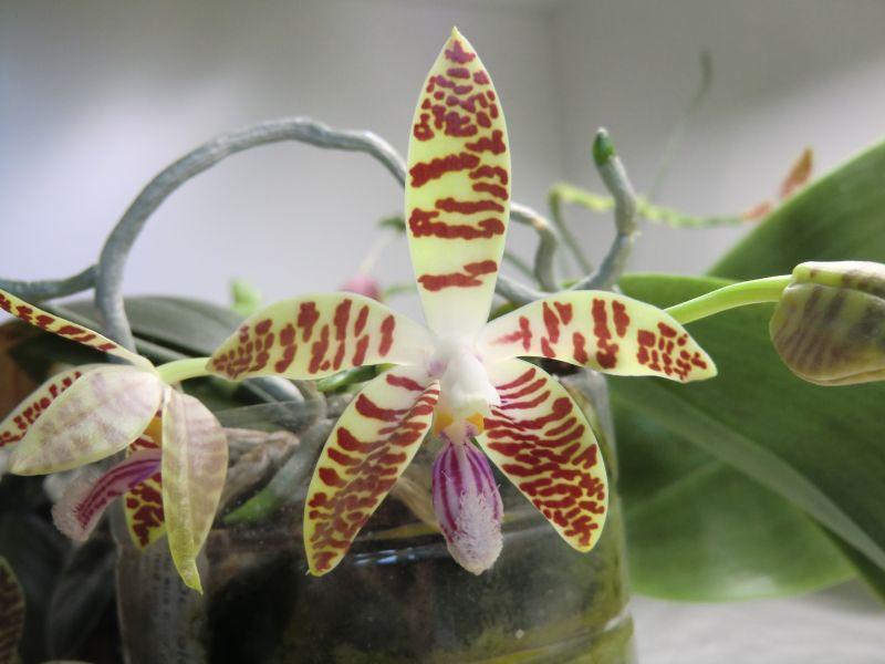 Phalaenopsis corningiana x sumatrana ( Double Eagle ) Rsphal15