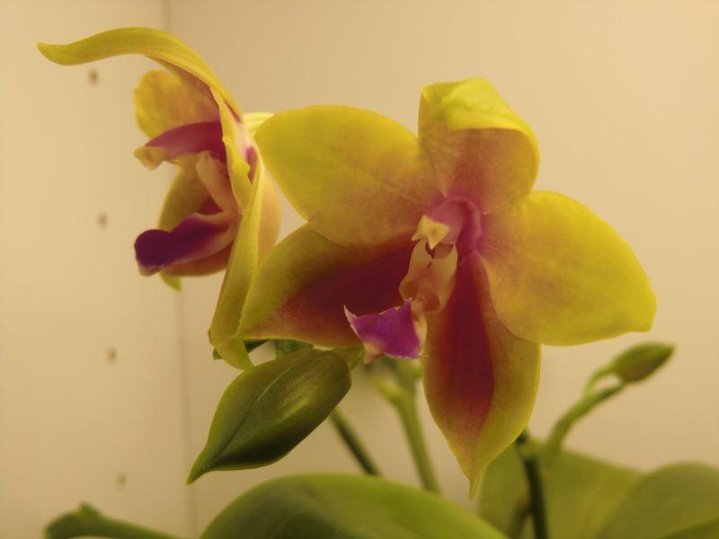 Phalaenopsis venosa x bellina (JIG) - Seite 4 Rsphal16