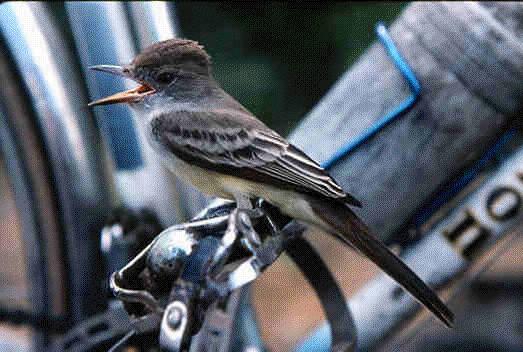 Un piaf parisien et un vélo anglais Piaf_v10