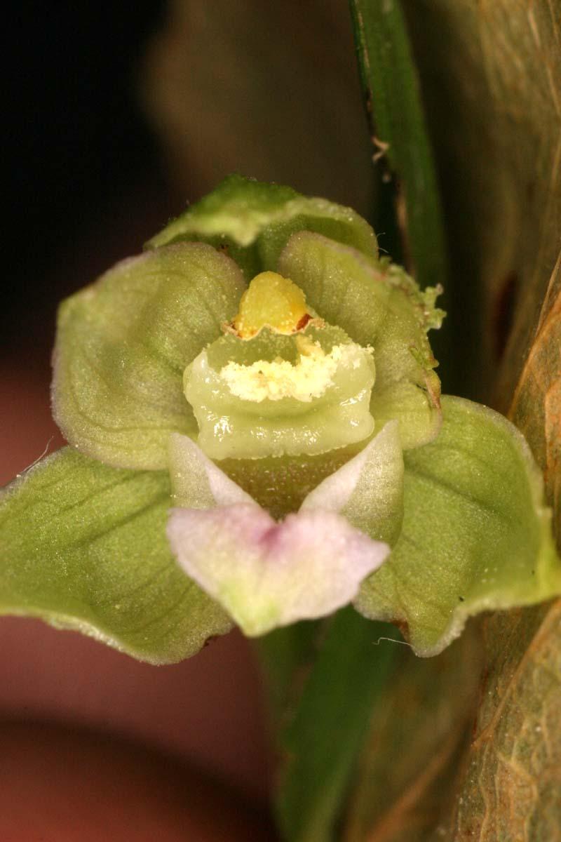 Epipactis rhodanensis ( Epipactis du Rhône ) Epi_rh11