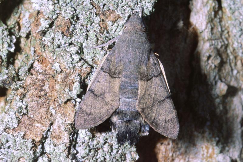 [Macroglossum stellatarum] Sphinx, je pense... Macrog12