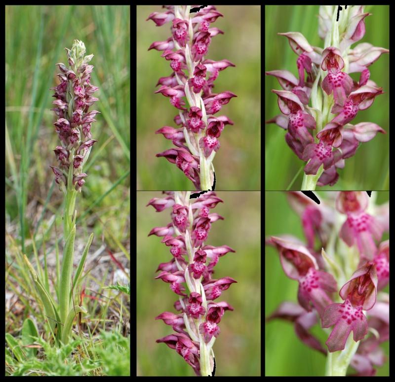 Anacamptis coriophora subsp. fragrans ( Orchis parfumée ) A_frag11