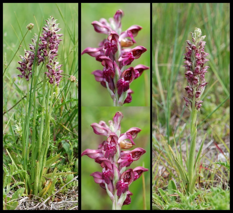 Anacamptis coriophora subsp. fragrans ( Orchis parfumée ) A_frag13