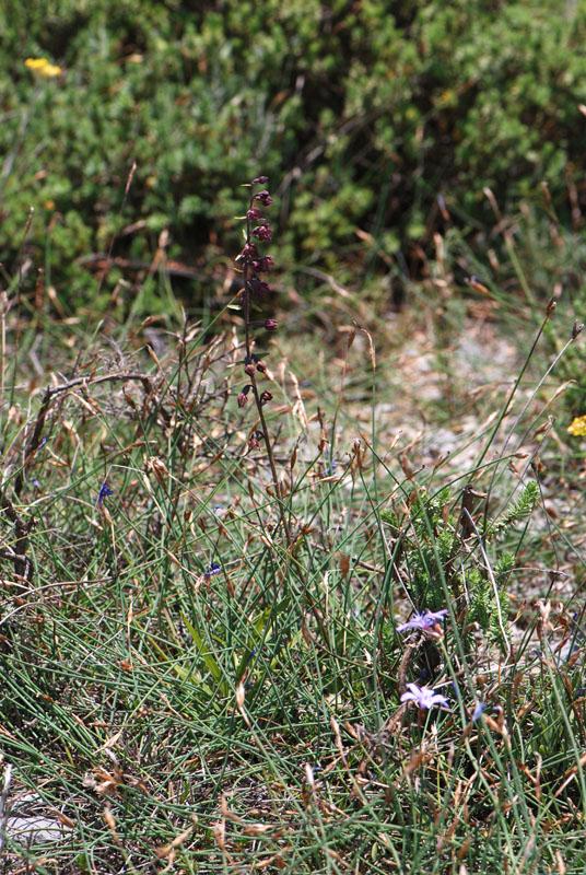 Epipactis kleinii ( Epipactis à petites fleurs ) Dsc_7811