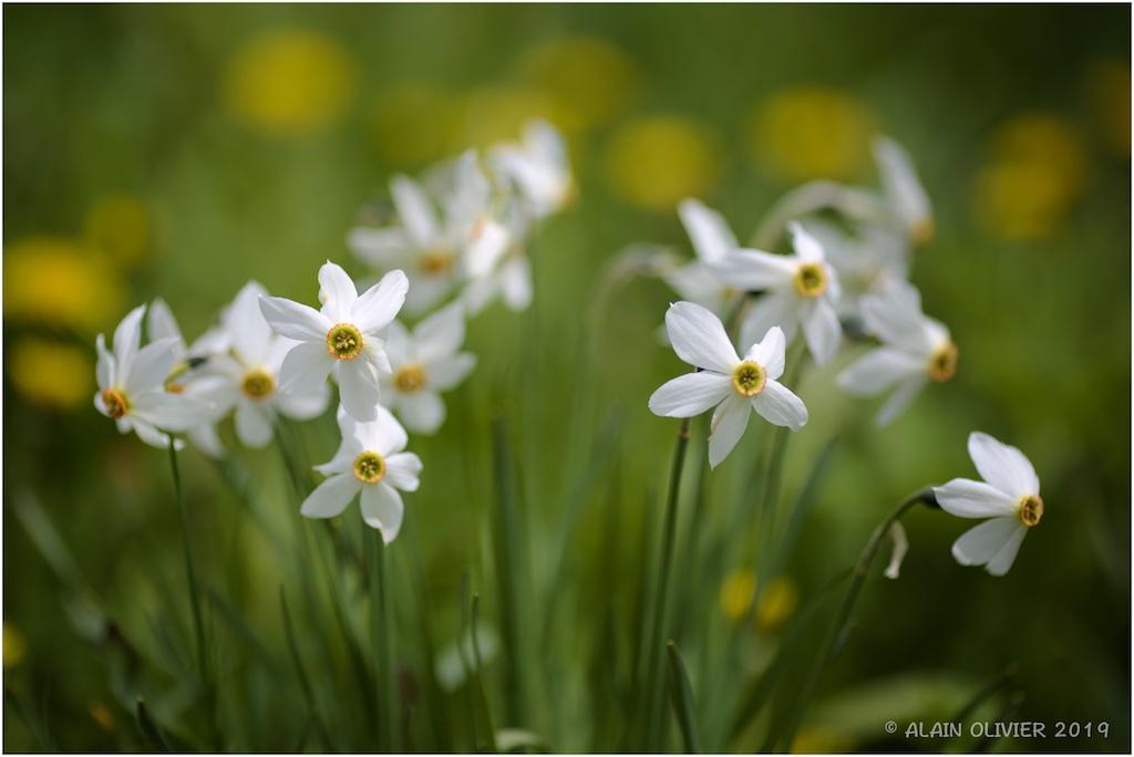 Narcissus 2019-011