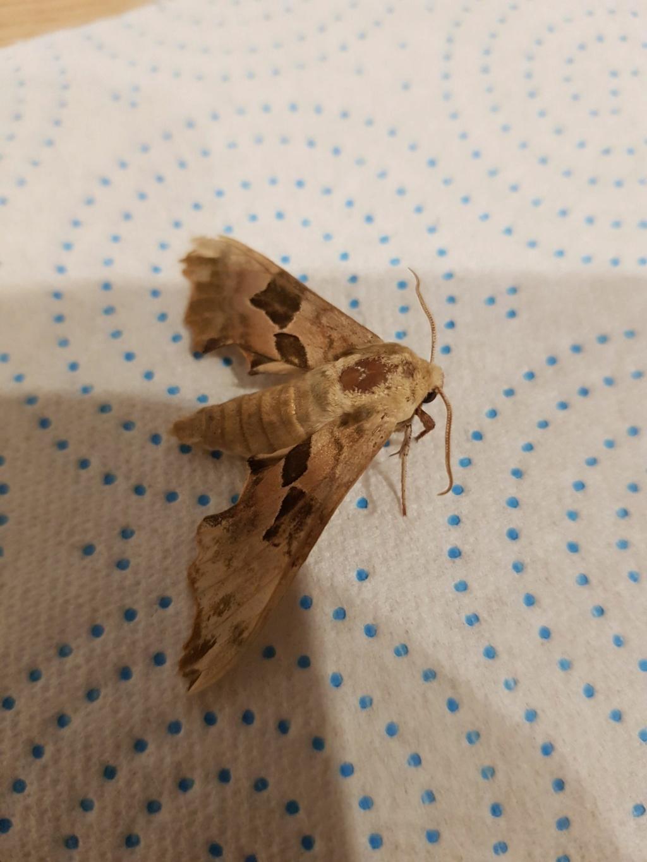 Papillon trouvé : Sphinx du Tilleul ? 20934010