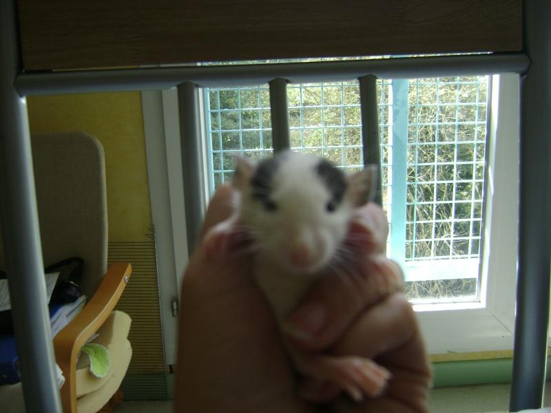 cherche rat dumbo Dsc00326
