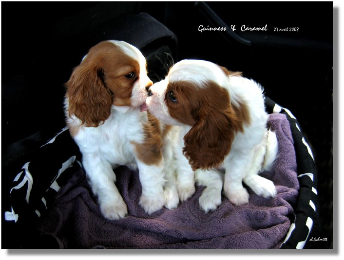 nos deux petits chiens,caramel et guinness Cara_e12