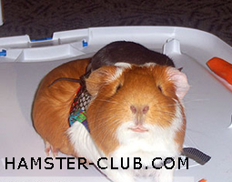 Foro gratis : A Great Forum For Hamster & Guinea P - Welcome! Guinea11