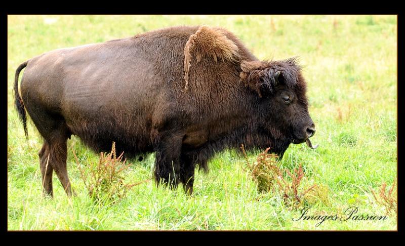 Far west Bison210