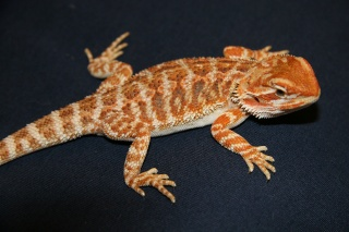 Do you have Beardie Questions? Fred10