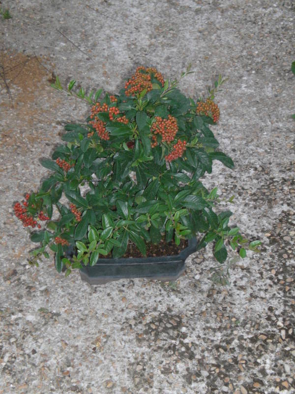 Taille sur pyracantha.... Cimg1310