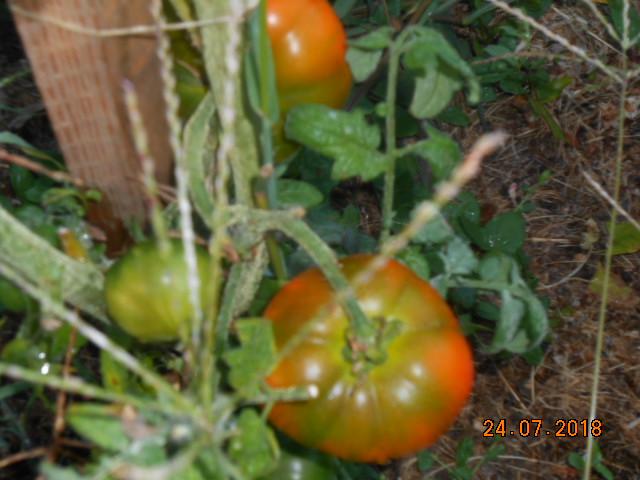 Tomates 2018 - Page 5 Dscn4460