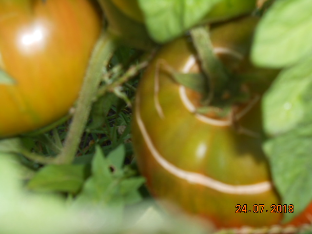 Tomates 2018 - Page 5 Dscn4461
