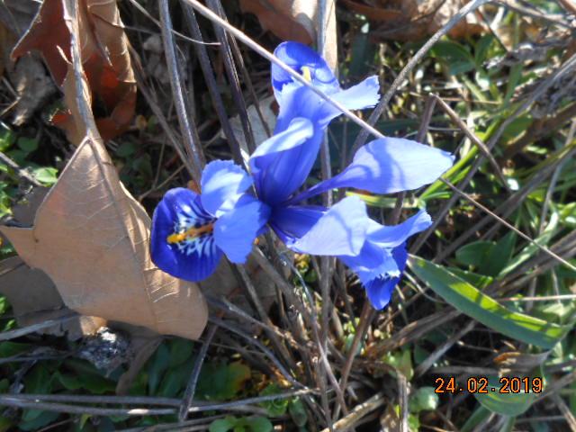 Iris reticulata - Page 8 Dscn4517