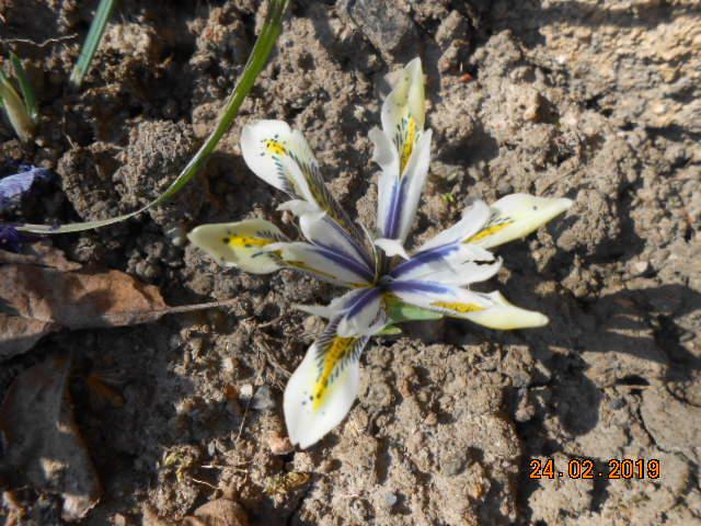 Iris reticulata - Page 8 Dscn4518