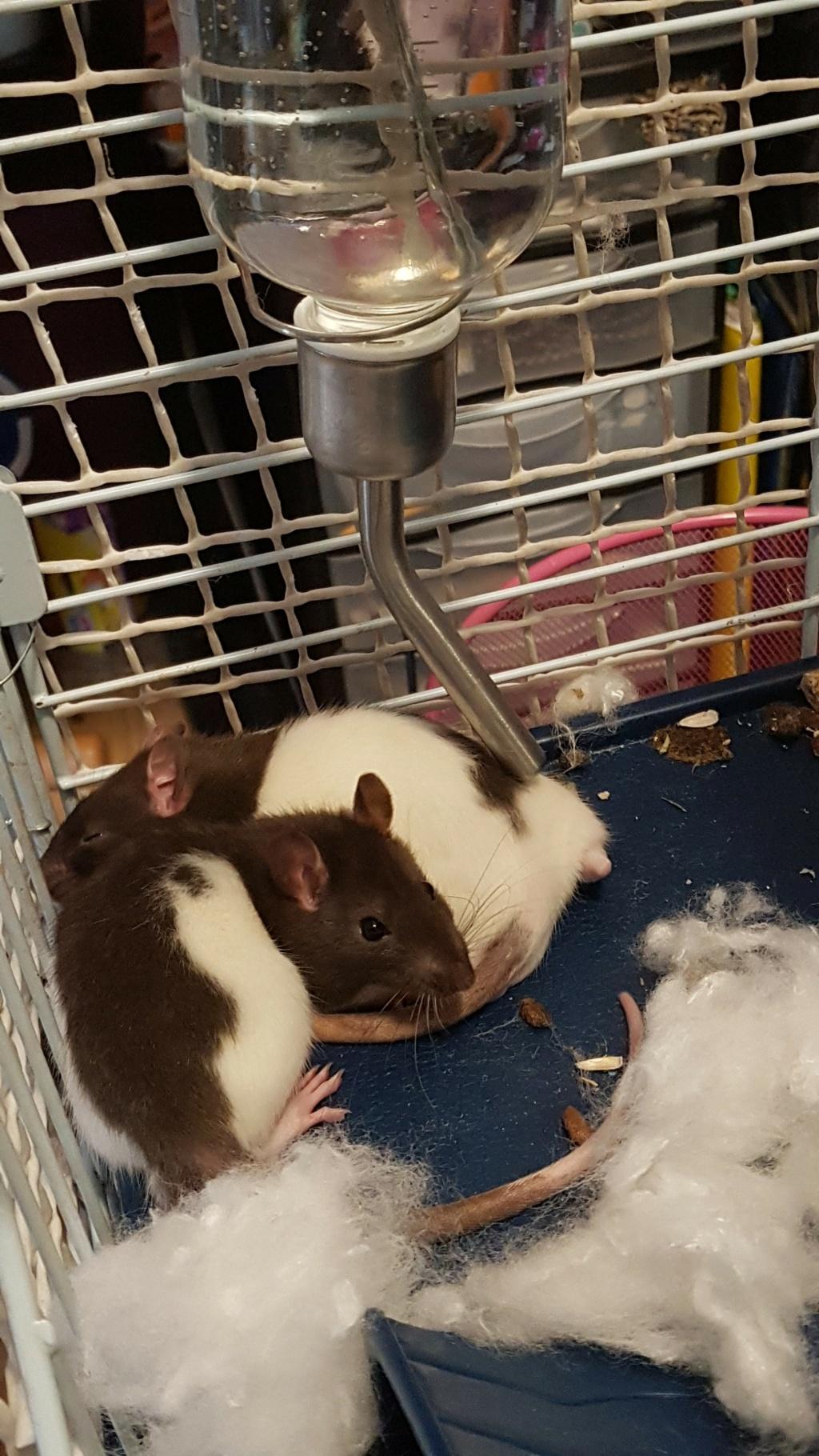 Nouveaux rats, très (trop) calme 20210224