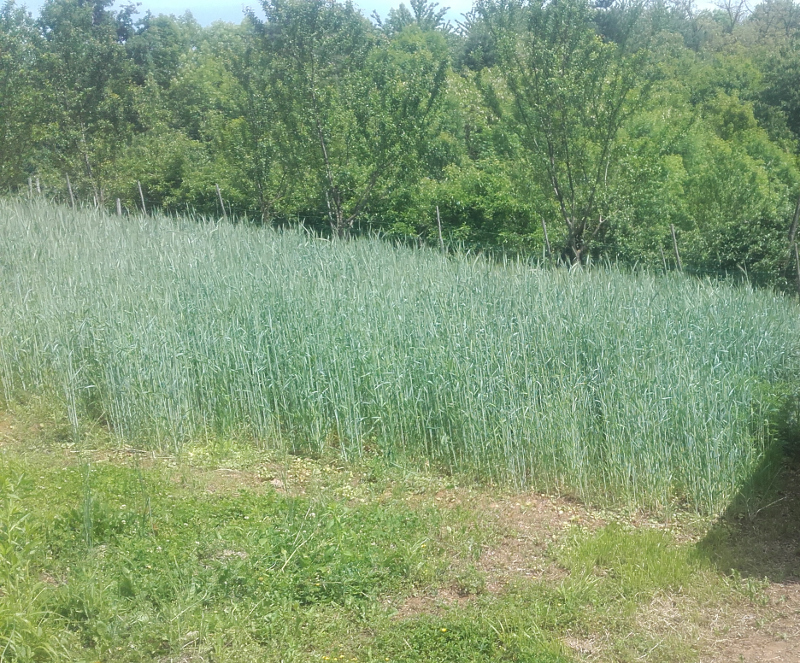 recupero terreno agricolo : arare, zappare o che altro e con quale attrezzo? 20210510