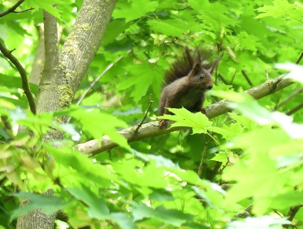 Ecureuil brun foncé P1060618