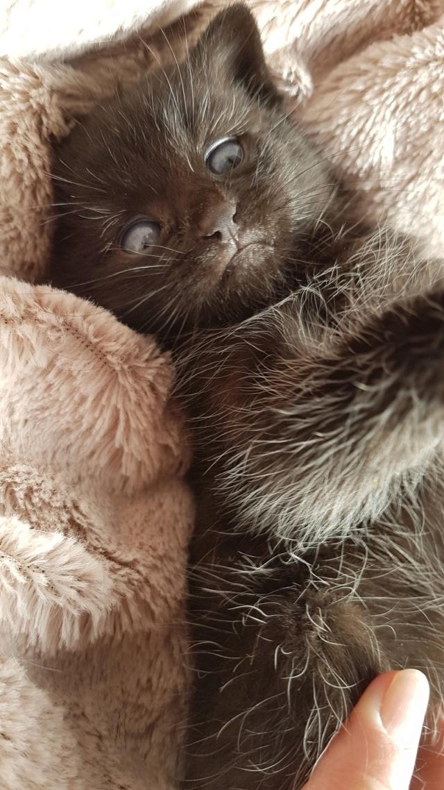 OSTIE, chatonne noire née vers le 08/10/18 20181016