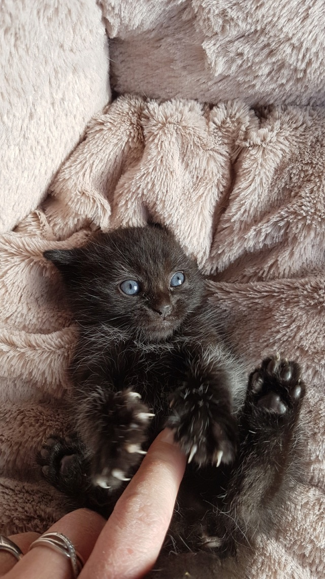 OSTIE, chatonne noire née vers le 08/10/18 20181017