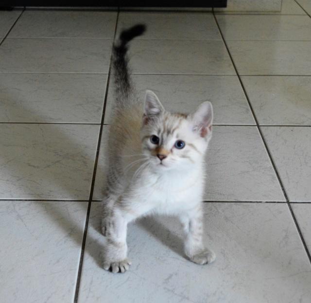 ORPHEE, chaton mâle, beige Tabby, né le 01/05/18 Dsc_0076