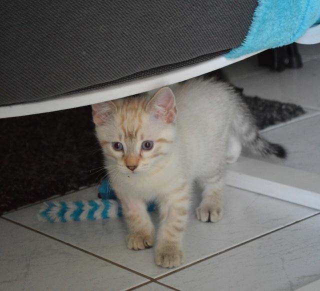 ORPHEE, chaton mâle, beige Tabby, né le 01/05/18 Dsc_0077