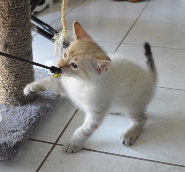 ORPHEE, chaton mâle, beige Tabby, né le 01/05/18 Dsc_0078