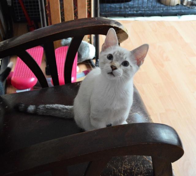 ORPHEE, chaton mâle, beige Tabby, né le 01/05/18 Dsc_0107