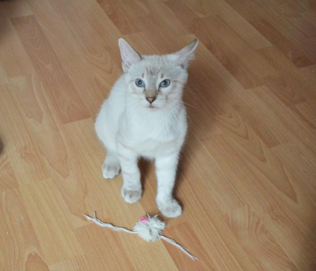 ORPHEE, chaton mâle, beige Tabby, né le 01/05/18 Dsc_0108