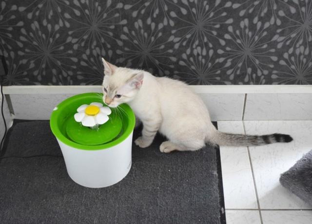 ORPHEE, chaton mâle, beige Tabby, né le 01/05/18 Dsc_0109