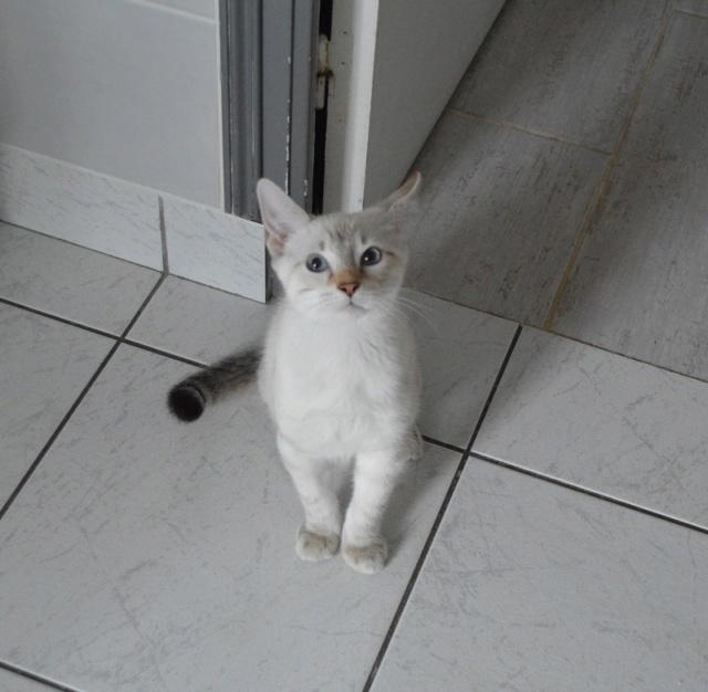 ORPHEE, chaton mâle, beige Tabby, né le 01/05/18 Dsc_0140