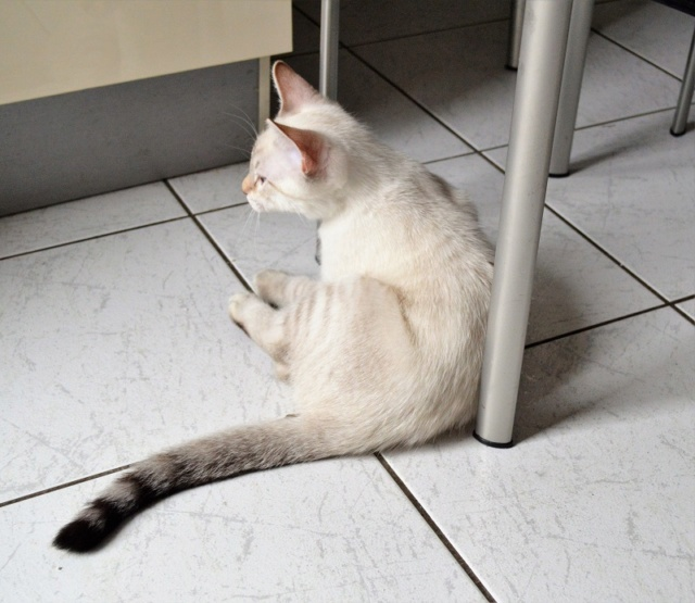 ORPHEE, chaton mâle, beige Tabby, né le 01/05/18 Dsc_0141