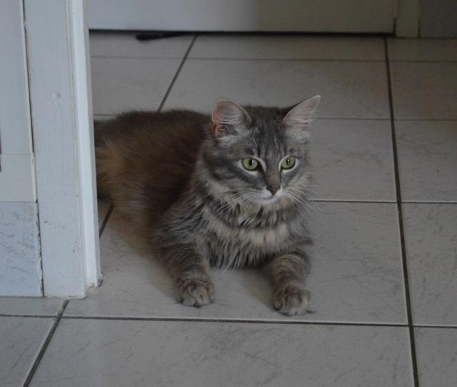 ORPHEE, chaton mâle, beige Tabby, né le 01/05/18 Dsc_0146