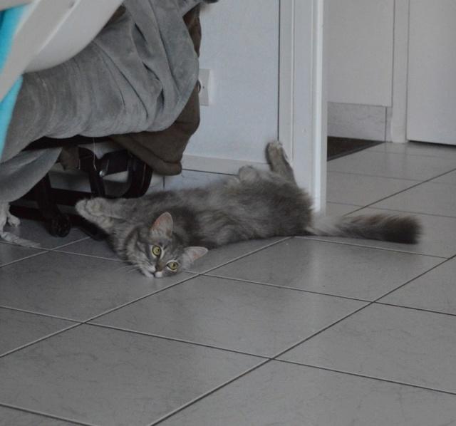 ORPHEE, chaton mâle, beige Tabby, né le 01/05/18 Dsc_0148