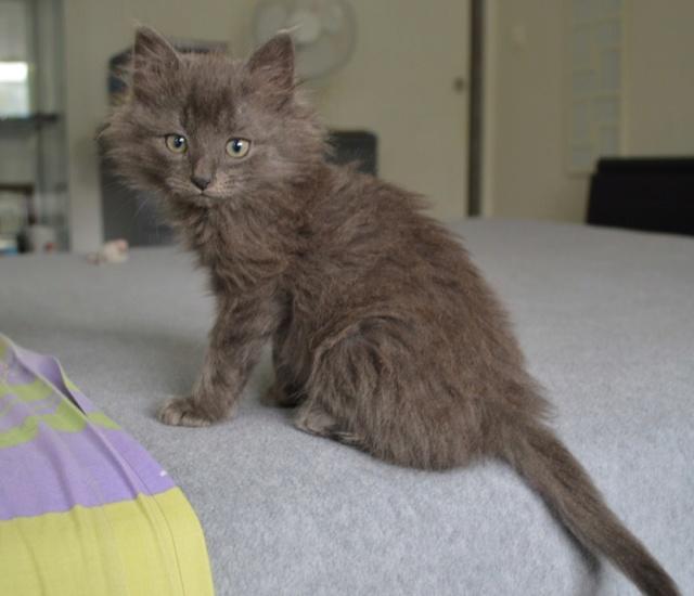 ORKAAN, chaton mâle gris à poils mi longs, né vers le 25/06/18 Dsc_0150