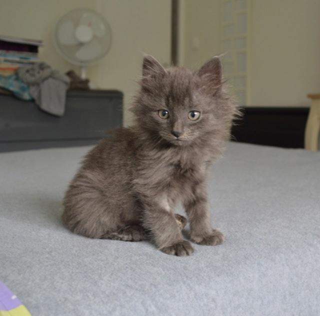 ORKAAN, chaton mâle gris à poils mi longs, né vers le 25/06/18 Dsc_0151